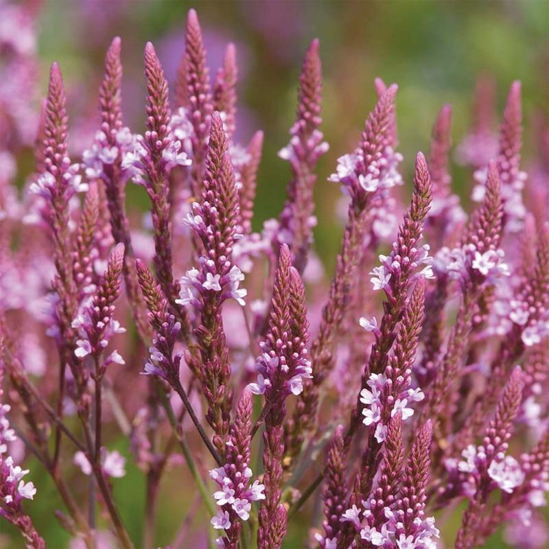 verveine fleur-achetez des lots à petit prix verveine fleur en