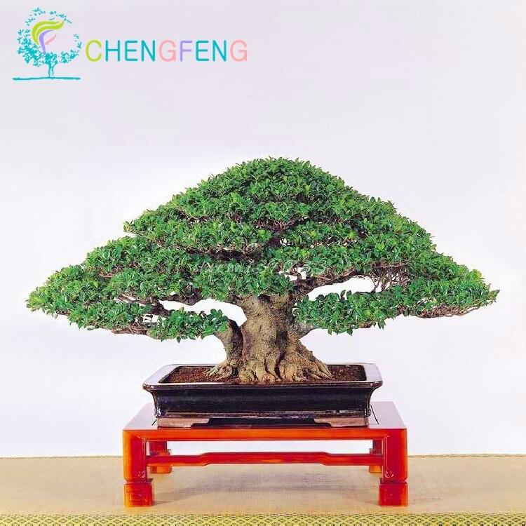 bonsai ficus ginseng-kaufen billigbonsai ficus ginseng partien aus, Best garten ideen