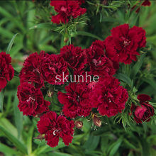 Pan American Double-flowered Dianthus Flower bonsai Dynasty Series Autumn Sowing Spring Carnations 100pcs(chang xia shi zhu)(China)