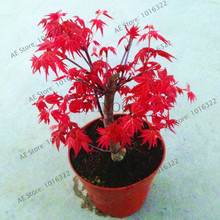 maple tree seeds,bonsai blue maple tree japanese maple seeds,plants for home garden and Balcony,51pcs