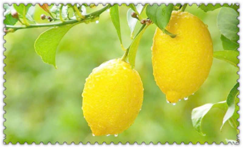 50 Buah Bonsai Lemon Pohon Bonsai Tinggi Tingkat Kelangsungan Hidup Pohon Buah Bonsai untuk Home Gatden Halaman Belakang Gratis Pengiriman