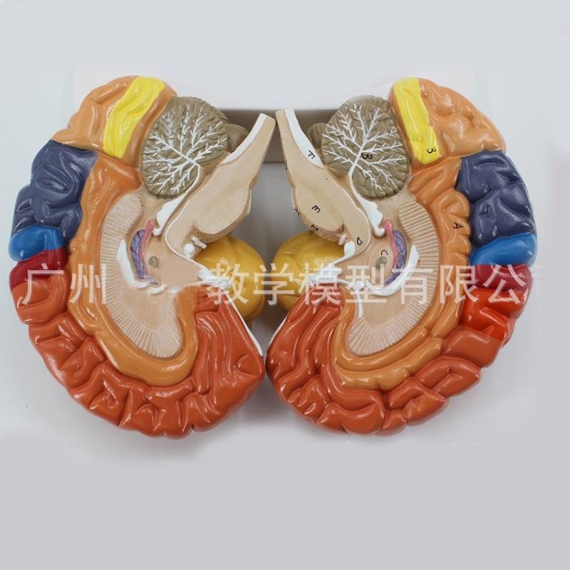2 partie couleur humaine, fonction cérébrale domaine anatomie modèle anatomique médical artificiel Cortex cérébral enseignement