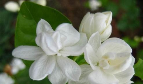 Free shipping 20 pieces white jasmine Seeds, fragrant plant arabian jasmine flower seed 49%