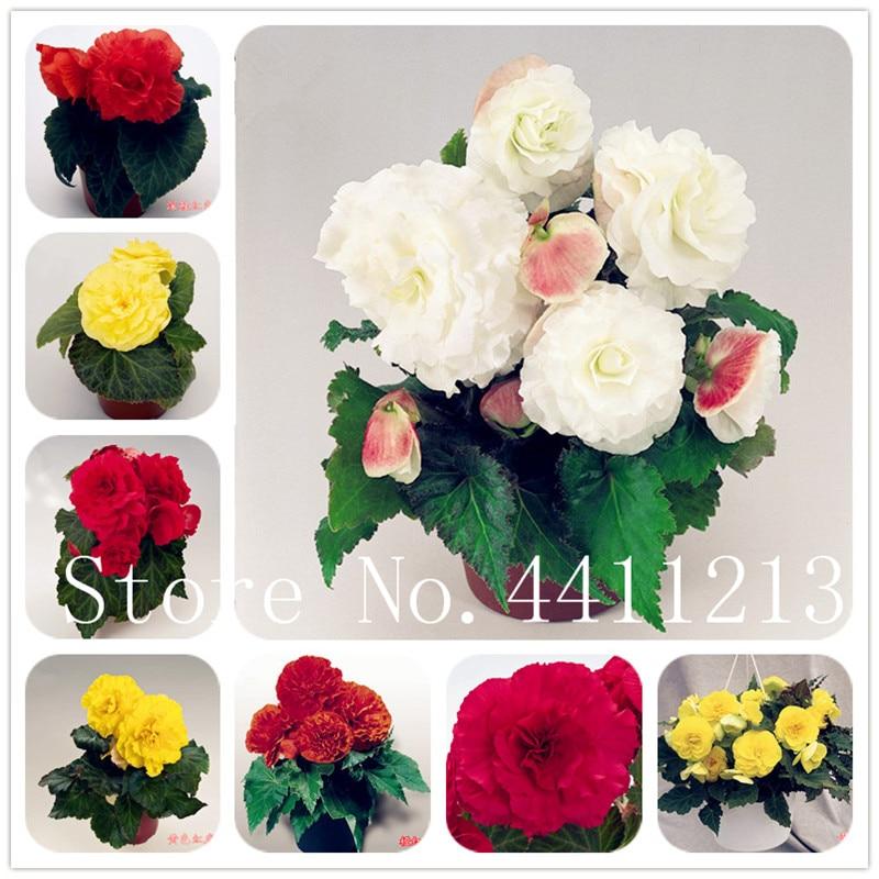 Mix Colors Begonia Flower Rare 200 Pcs Malus Spectabilis Balcony Patio Bonsai Rose Rieger Flower Bonsai For Home Garden Planting