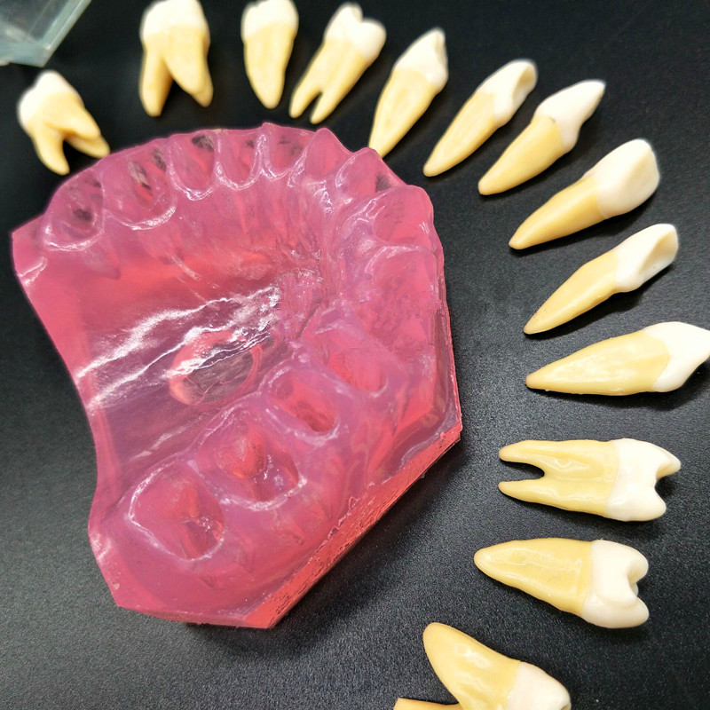 Image 4 - Dental Study Teaching Model Standard Model Removable Teeth Soft Gum ADULT TYPODONT Model-in Teeth Whitening from Beauty & Health