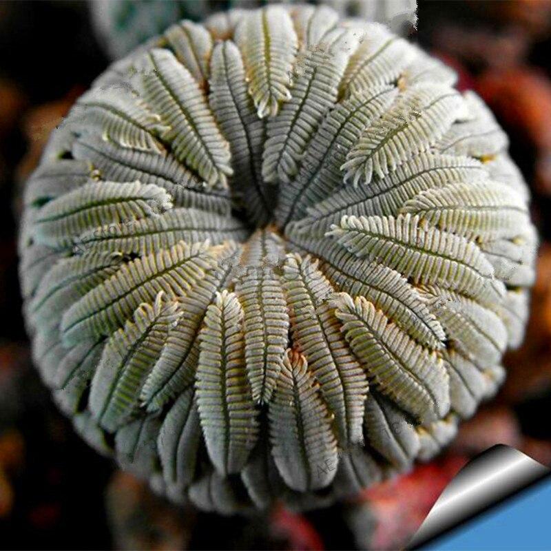 200-Rare-Mix-Lithops-flores-Living-Stones-Succulent-Cactus-Organic-Garden-Bulk-plante-bonsai-plantas-for (2)