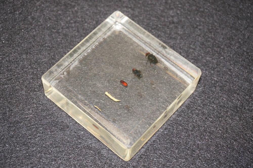 Life Cycle Of The Housefly Specimens In Clear Lucite Educational Equipment набор даббингов joyfish life cycle