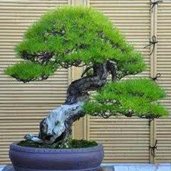 $0.97/50 bonsai di pino bonsai di vendita Calda molto facile crescere bella Yacc
