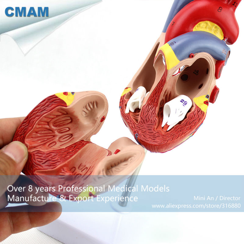 12478 CMAM-HEART02 New Medical Anatomical Heart Model in 2 Parts, Anatomy Models > Heart Models , EUB free shipping 12310 cmam muscle16 medical education anatomical neck muscle anatomy model