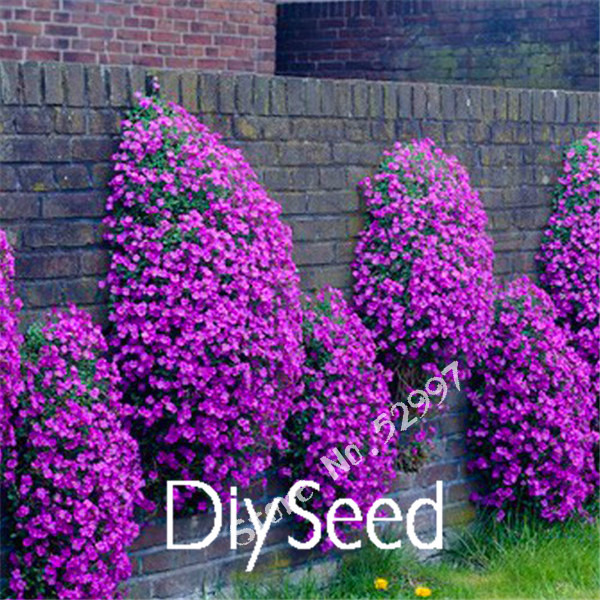 200 Seeds/lot Rock Cress,Aubrieta Cascade Purple FLOWER