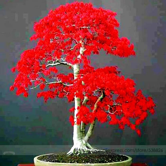 Online kaufen gro handel maple bonsai aus china maple - Arce rubrum bonsai ...