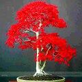 100% verdadeiro japonês Red Maple Bonsai árvore barato sementes, Professional pack, 20 Seeds / pack, Muito bonito árvore interior NF924
