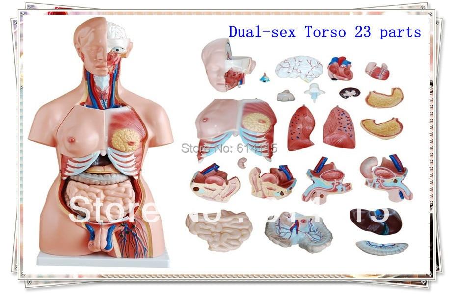 Фабрика директна продажба двуполов торс 23 части модел анатомия размер на опаковката: 91 * 44 * 36см 1 комплект / лот Безплатна доставка