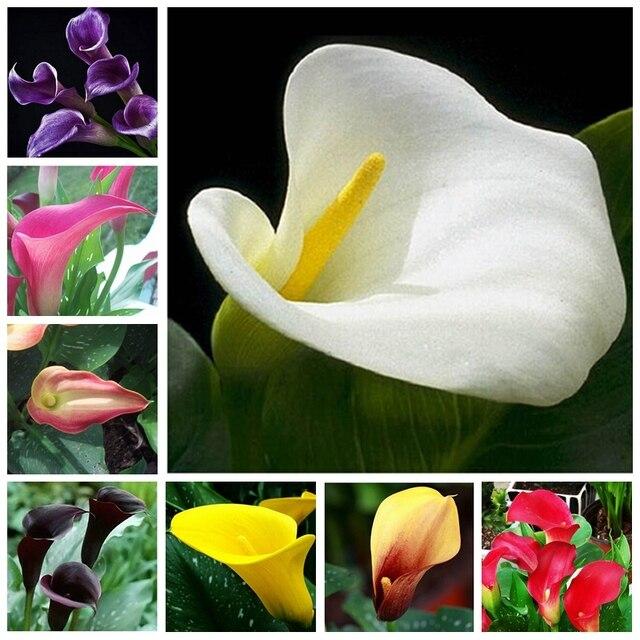 100 Pcs Calla Lily Bonsai Room Flowers Zantedeschia Aethiopica Outdoor Indoor Houseplants Home Garden Pot