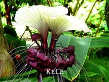 Genuine!100seeds/Bag Fresh Rare Tacca Integrifolia Seeds Easy Planting flower semillas,#MGU86L