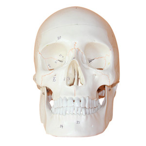Image 4 - 1:1 a Grandezza naturale Del Cranio Modello di Modello di Cranio Umano Medicina Cranio Umano Anatomia Anatomico Testa Studiare Anatomia Insegnamento Forniture