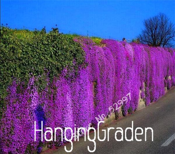 200 Pieces/bag Rock Cress,Aubrieta Cascade Purple FLOWER SEEDS, Superb perennial ground cover for home garden