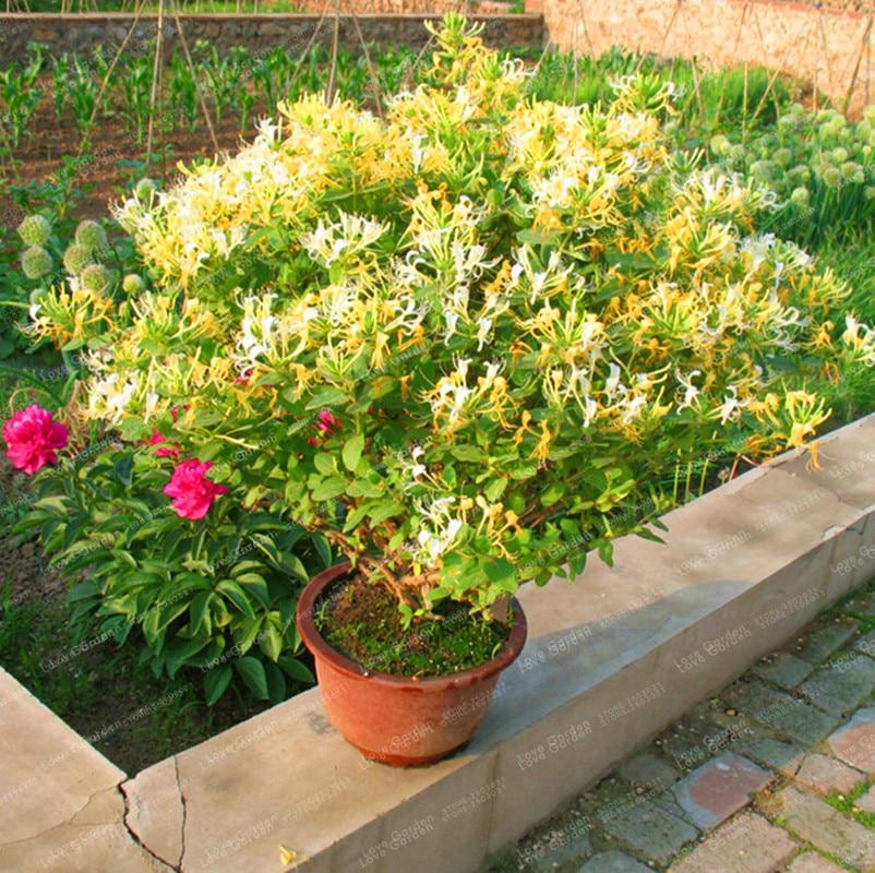 200個 スイカズラ(Tecomaria Capensis)盆栽Lonicera Japonica漢方薬はとても甘い家と庭の盆栽植物です