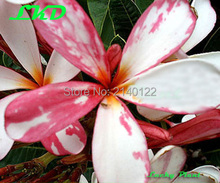 7-15inch Rooted Plumeria Plant Thailand Rare Real Frangipani Plants no82-dwarf-singpore-3