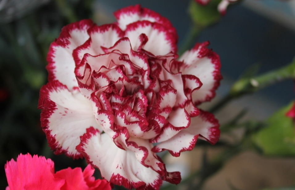 New 2016 Asian Rare Carnations Seeds Flowers Seeds 400pcs/pack 6 Species Bonsai Seeds Free Shipping Professional packaging