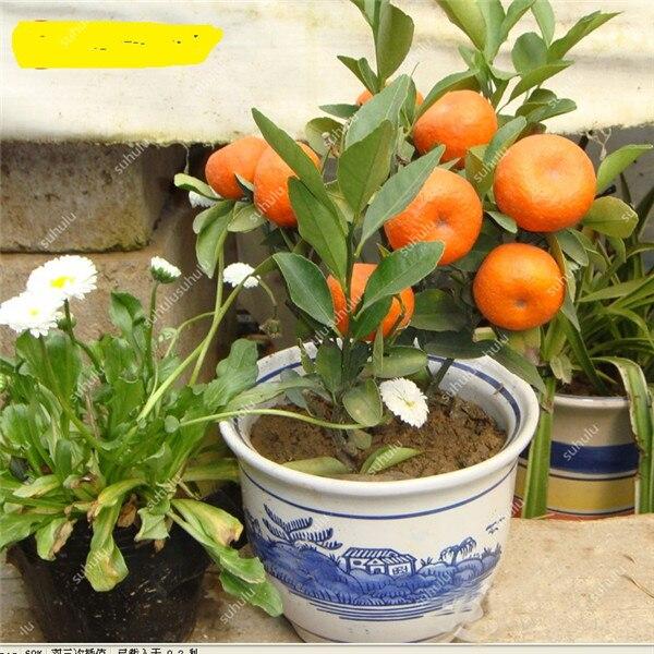 10pcs-bag-Balcony-Patio-Potted-font-b-Fruit-b-font-font-b-Trees-b-font-Planted