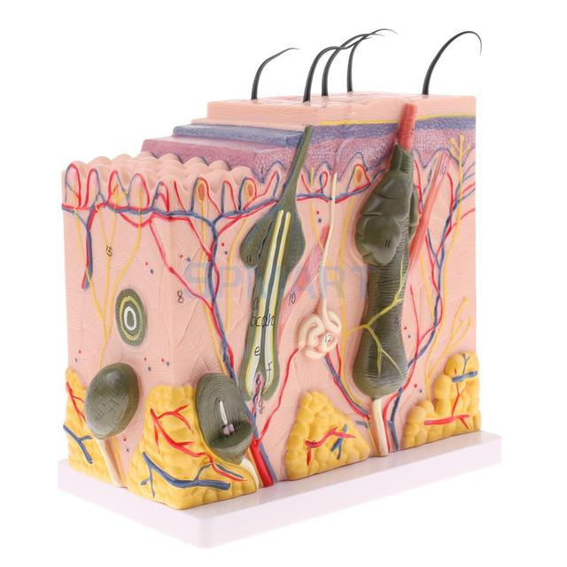 50X Enlarged Anatomical Human Skin Model Science Classroom Anatomy ...