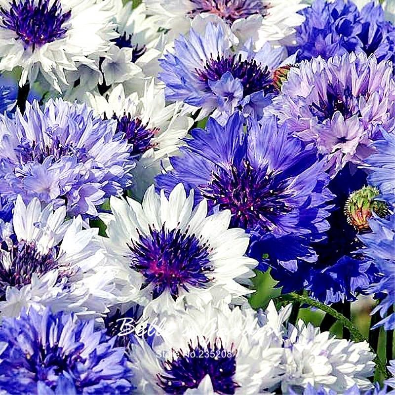 100pcs Selected Blue Cornflower Classic Fantastic Seeds Culinary FLower Herb Flower Seeds Bonsai Home Garden Plant