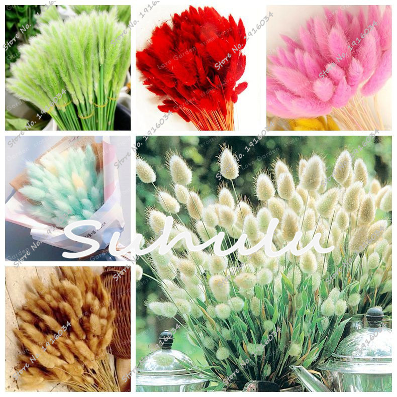 Bunny Tails Ornamental Grass 100pcs grass seeds bunny tails grass lagurus ovatus tropical 100pcs grass seeds bunny tails grass lagurus ovatus tropical ornamental workwithnaturefo