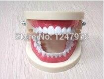 Dental teaching model teeth model trumpet