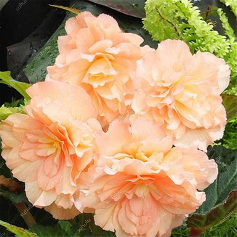 Begonia Bonsai 100 Pcs Malus Spectabilis Potted Bonsai Rare Balcony Patio Flower Bonsai For Home Garden Planting Easy To Grow