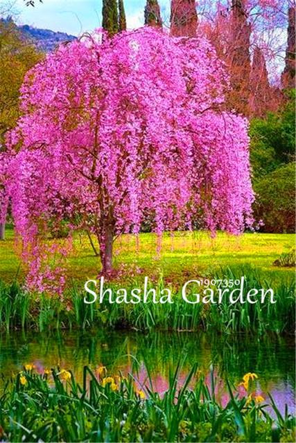 Bonsai Tree Japanese Sakura Tree Bonsai 20 Pcs Rare Cherry Blossoms Flowers Mixed Prunus Serrulata Diy Home Garden Plants