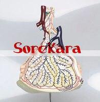 Human Anatomical Pulmonary Lobule Alveoli Dissection Medical Teach Model School Hospital