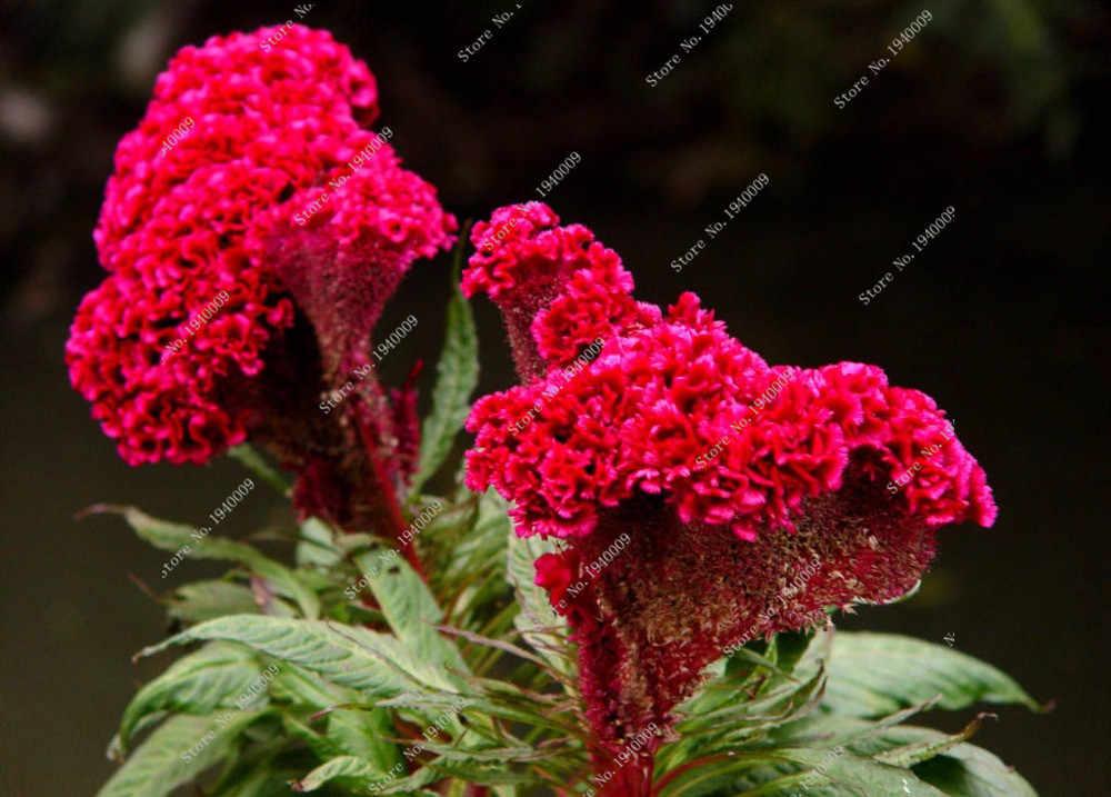 200 pcs cockscomb Benih Dunia Hottest Abadi Biji Bunga Taman Bonsai Benih campuran warna Gratis Pengiriman