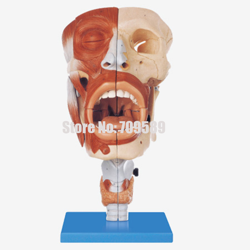 ISO Anatomical Nasal Model with Oral, Pharynx and Larynx Model human larynx model advanced anatomical larynx model