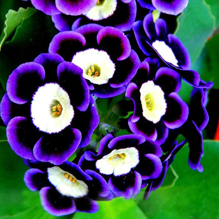 Scarce Rare Blue Phantom Petunia seeds Pot Flower Seeds 200 PCS Pack Home Garden Bonsai Plants