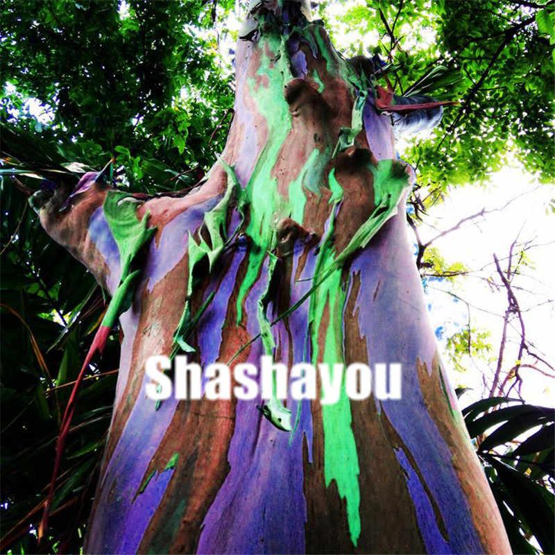 100 قطع نادر قوس قزح الكافور بونساي شجرة الزينة النباتات العملاقة مبهرج الاستوائية شجرة ل حديقة زراعة في الهواء الطلق بونساي هدية