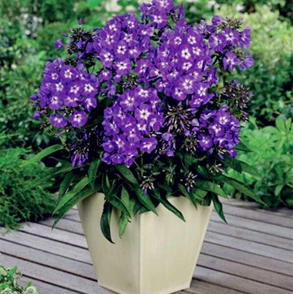 Home, tuinplanten 100 st. Bonsai outdoor meerjarige phlox bonsai planten phlox bonsai gratis verzending 100% natuurlijke