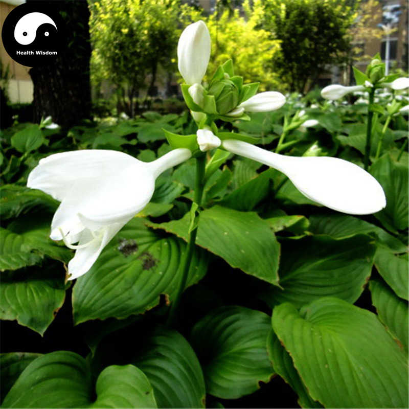 Detail Feedback Questions About Buy Hosta Plantaginea Flower Semente