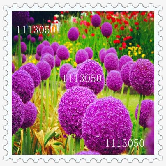 online kaufen gro handel lila allium aus china lila allium. Black Bedroom Furniture Sets. Home Design Ideas