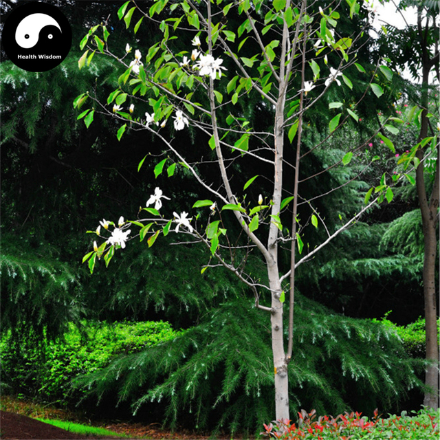 Buy magnolia tree semente 50pcs plant magnolia denudata for white buy magnolia tree semente 50pcs plant magnolia denudata for white flower yu lan mightylinksfo