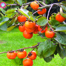 Sale 2016 new seed Succulent Plants persimmon seeds fruit trees 20 particles organic fruit seeds for home garden supplies