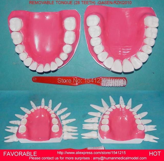 Aliexpress Buy Oral Anatomy Medical Modeldental Caries Model