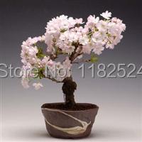 20 СЕМЯН-100% Оригинальные Японский Sakura семена бонсай цветок легко посадить DIY главная сад *