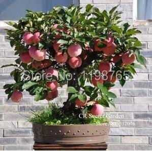 Trial product Bonsai Apple Tree Seeds 50 Pcs apple seeds fruit bonsai garden in flower pots planters 49%