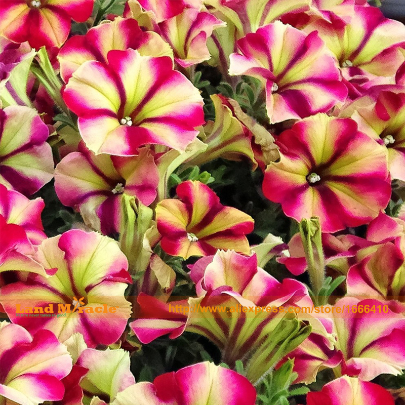 Lily Size-Pink Lady Petunia Seeds, 100 Seeds/Pack, Bonsai Flower Seeds For Home Garden & Balcony