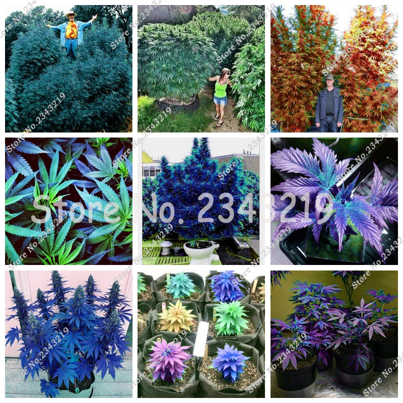 Online buy wholesale hemp plants from china hemp plants for Natural multi colored roses