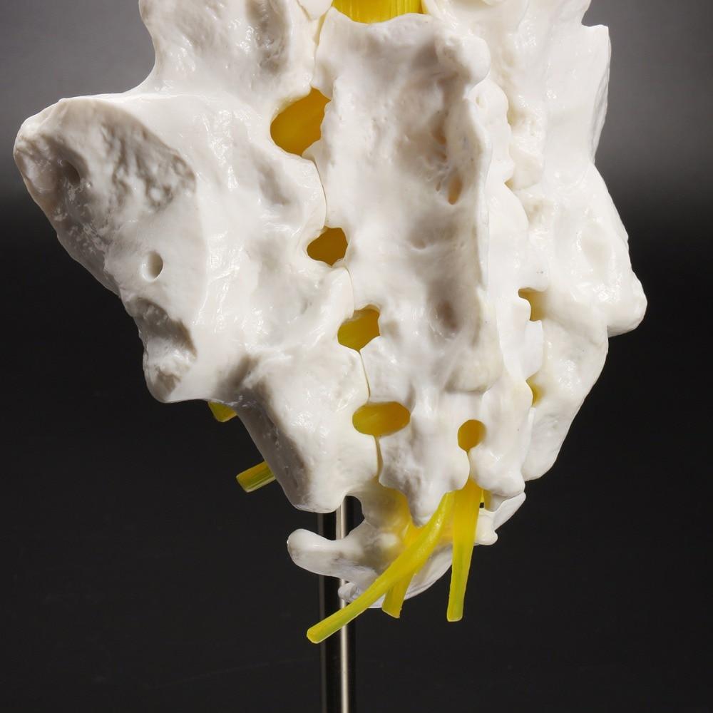 12\'\'Life Size Chiropractic Hum an Anatomical Lumbar Vertebra l Spine ...