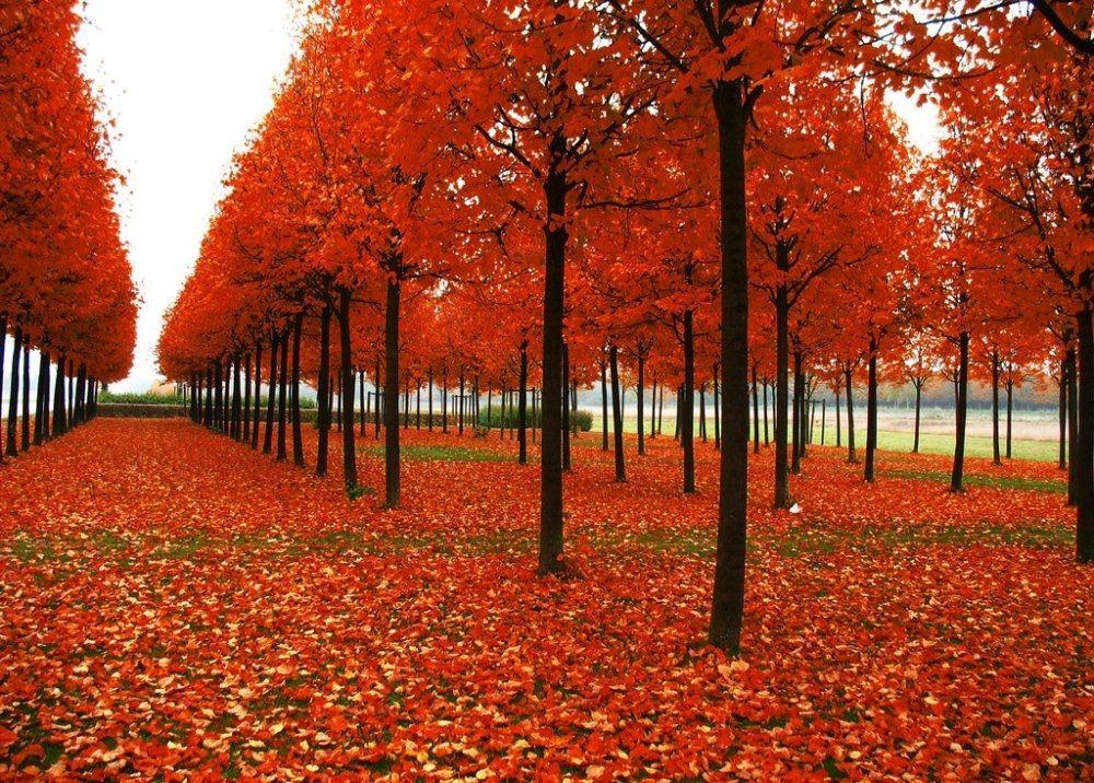 Red Japanese Maple Acer Palmatum Atropurpureum Tree Fresh 10pcs In
