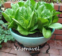 Lettuce Romaine Vegetable Seeds 500 Pcs / Lot  Easily home-grown Hardy Vegetables for Salad