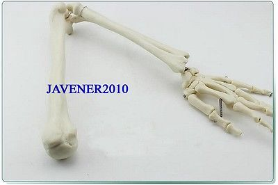 Life Size Human Anatomical Anatomy Arm Upper Limb Hand Skeleton Medical Model